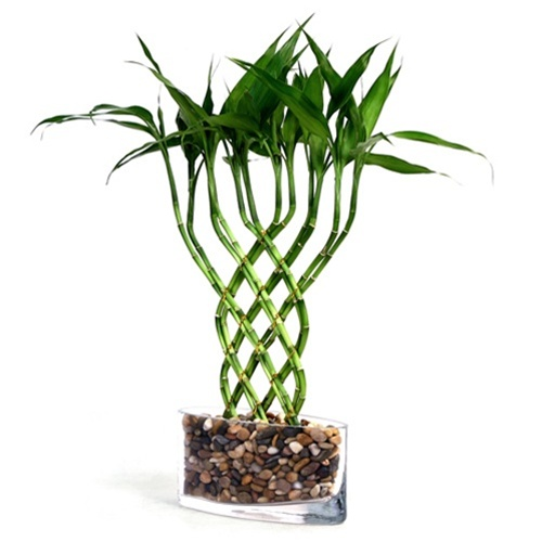 lucky bamboo large trellis lucky bamboo from. Black Bedroom Furniture Sets. Home Design Ideas